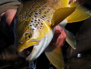 Gold brown from Arthurs Lake. Image by Peter Broomhall.