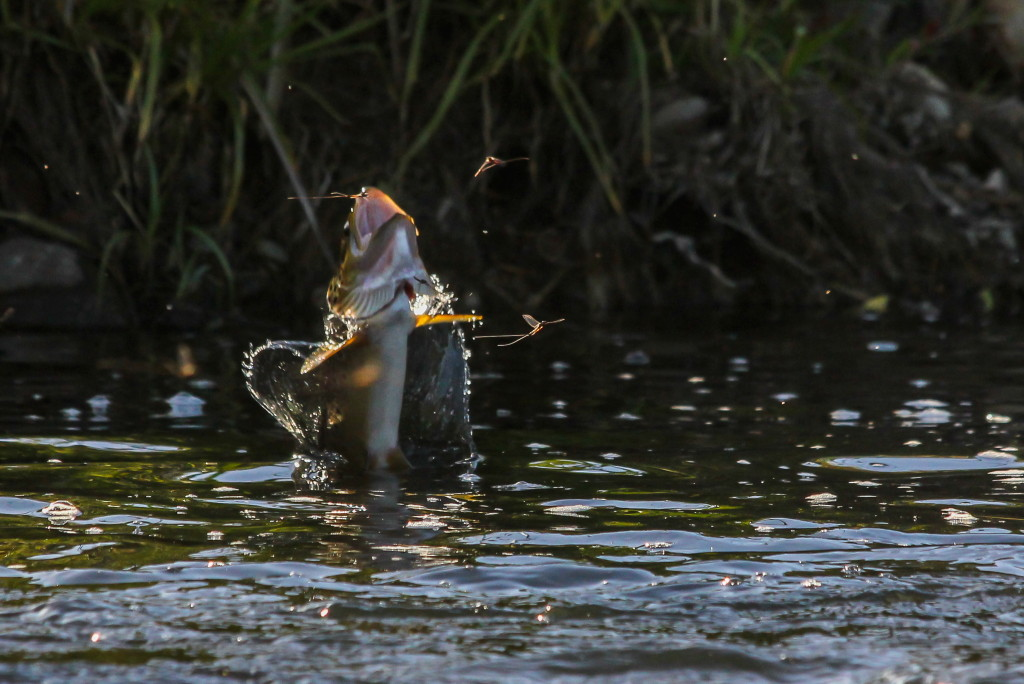 Spinner Feeder. Image by Peter Broomhall